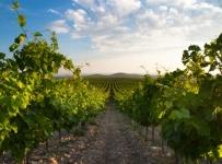 Restrukturiranje i konverzija vinograda